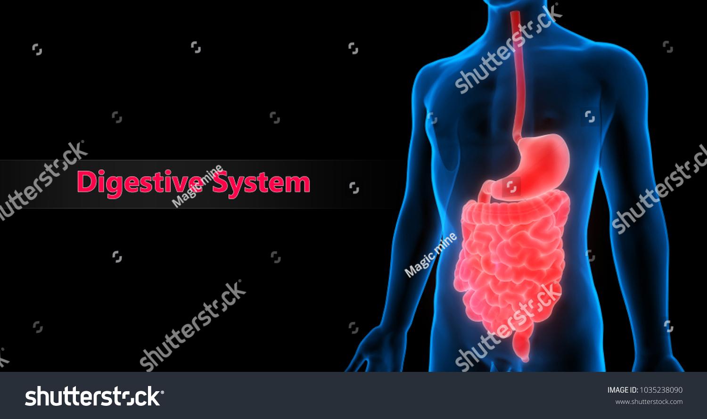 Human Digestive System Anatomy 3 D Stock Illustration 1035238090 ...