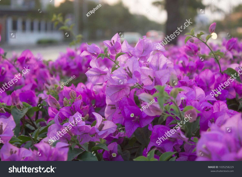 Pink Purple Flower Bush Stock Photo Safe To Use 1035258229