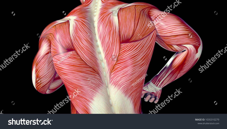 Human Male Body Anatomy Illustration Visible Stock Illustration ...