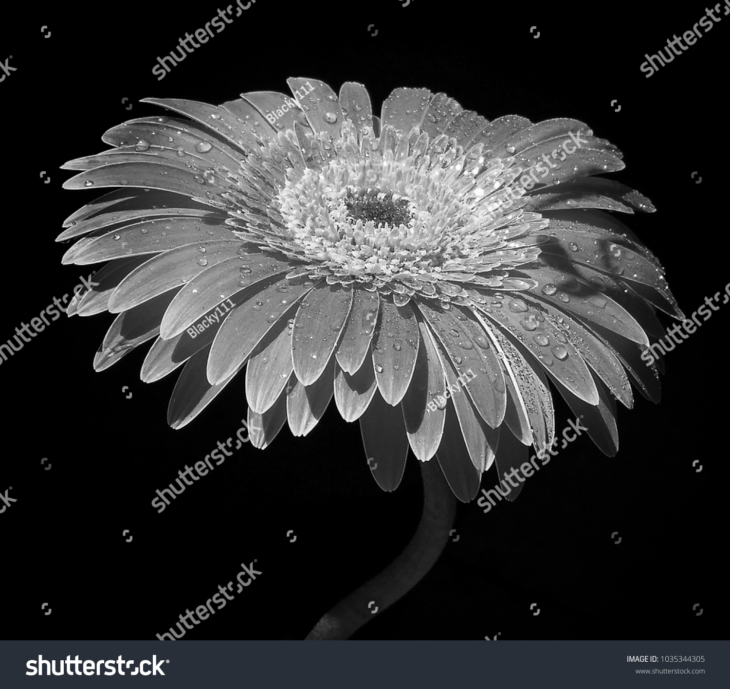 Gerbera Flower In Black Nd White Isolated On Black Background Ez