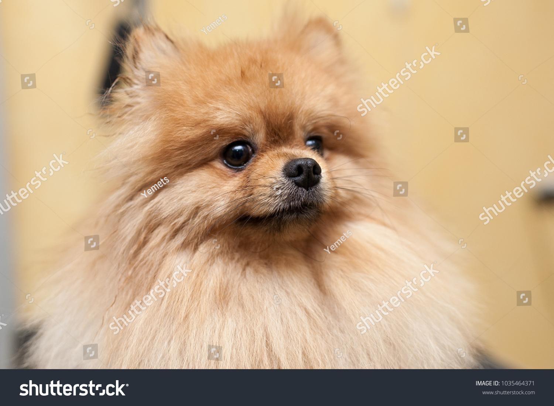Portrait Pomeranian Dog Hairdresser Dog Haircut Ez Canvas