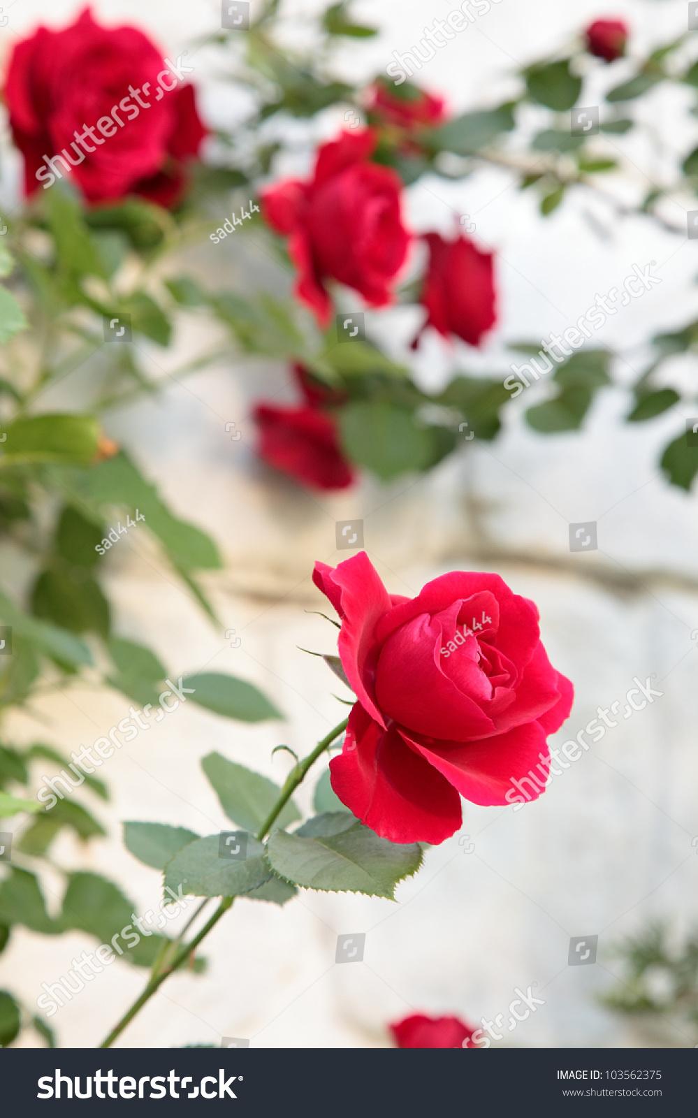 Beautiful flower red rose nature stock photo edit now 103562375 beautiful flower red rose nature izmirmasajfo