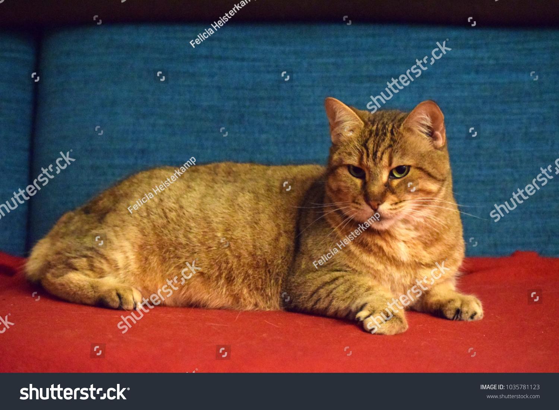 Pixie Bob Cat Stock Photo (Edit Now) 1035781123