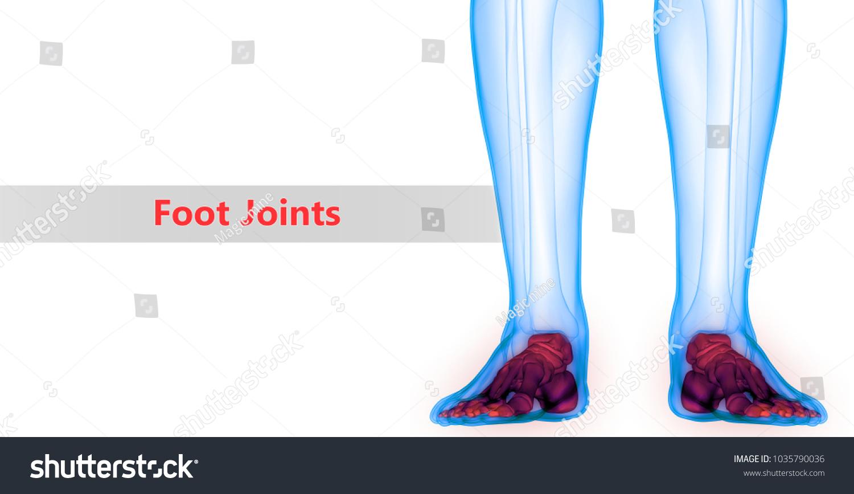 Human Skeleton System Bones Foot Anatomy Stock Illustration