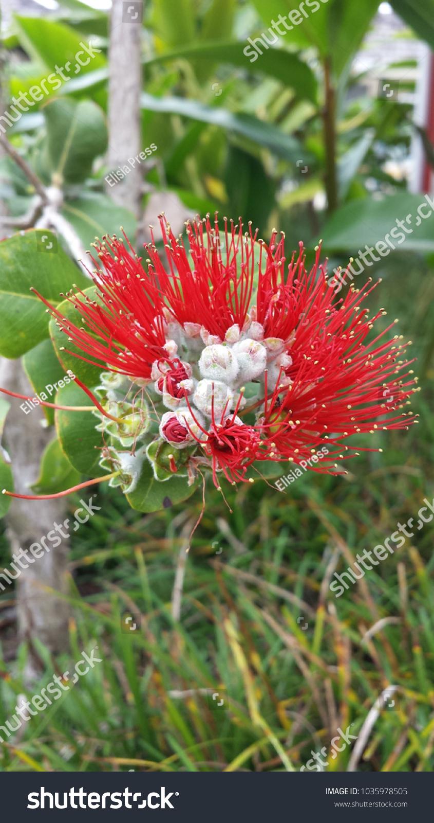 Native hawaiian ohia lehua flower blooming stock photo edit now native hawaiian ohia or lehua flower blooming izmirmasajfo