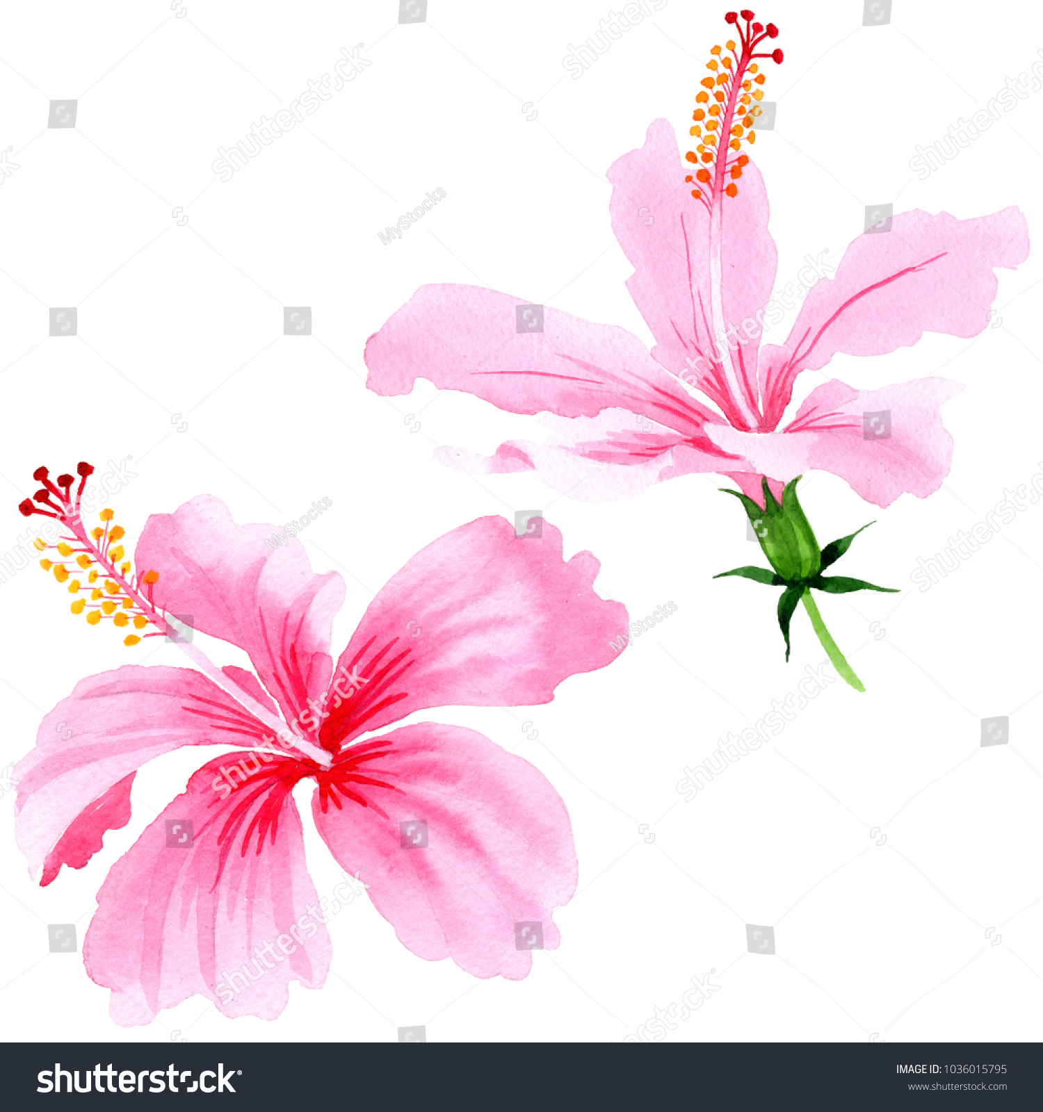 Wildflower hibiscus pink flower in a watercolor style isolated full id 1036015795 izmirmasajfo
