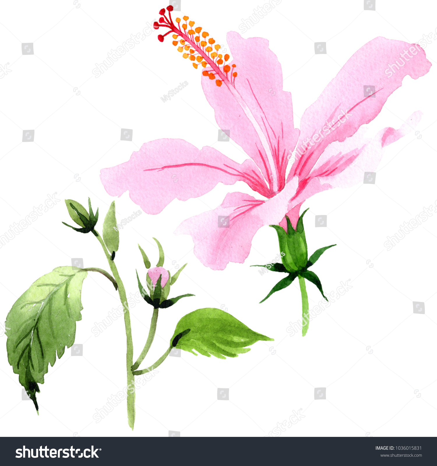 Wildflower hibiscus pink flower watercolor style stock illustration wildflower hibiscus pink flower in a watercolor style isolated full name of the plant izmirmasajfo