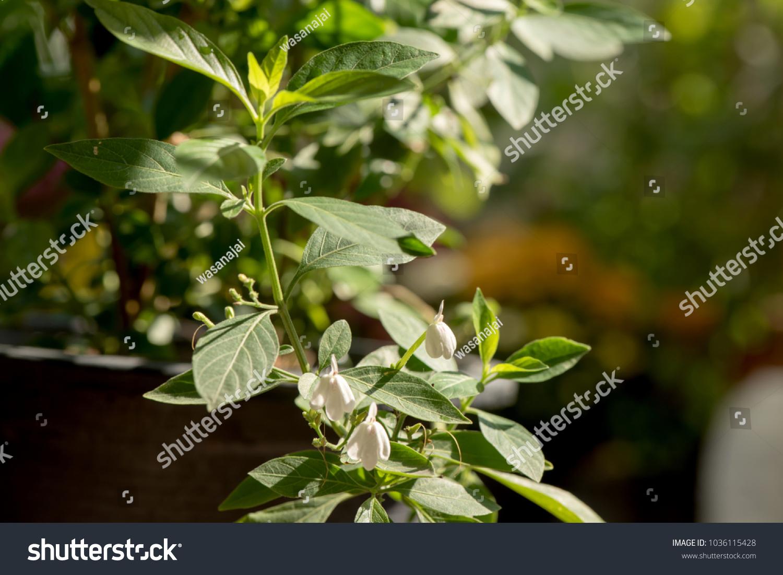 White Crane Flower Rhinacanthus Nasutus Plant Stock Photo Edit Now