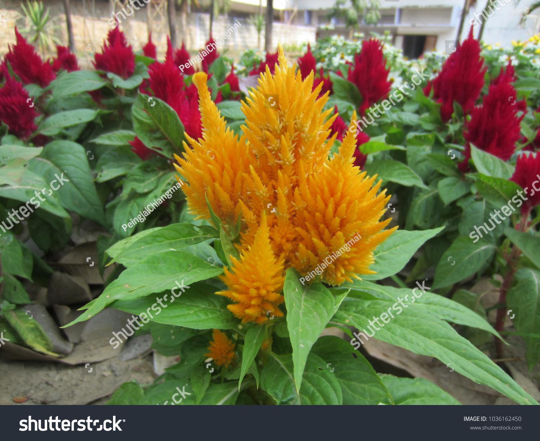 Celosia Argentea L Celosia Yellow Flowers Stock Photo Edit Now
