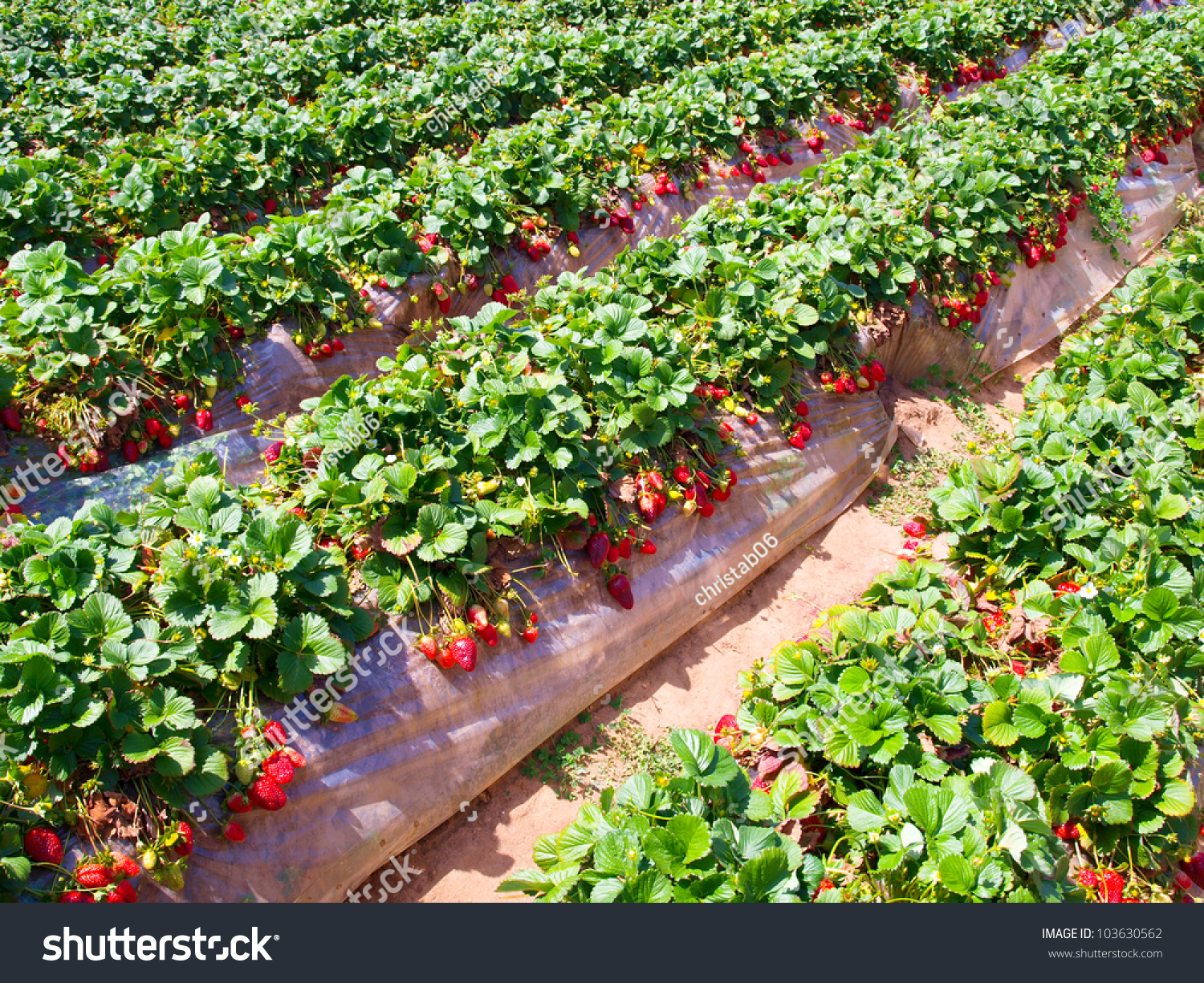Strawberry Field Stock Photo 103630562 Shutterstock