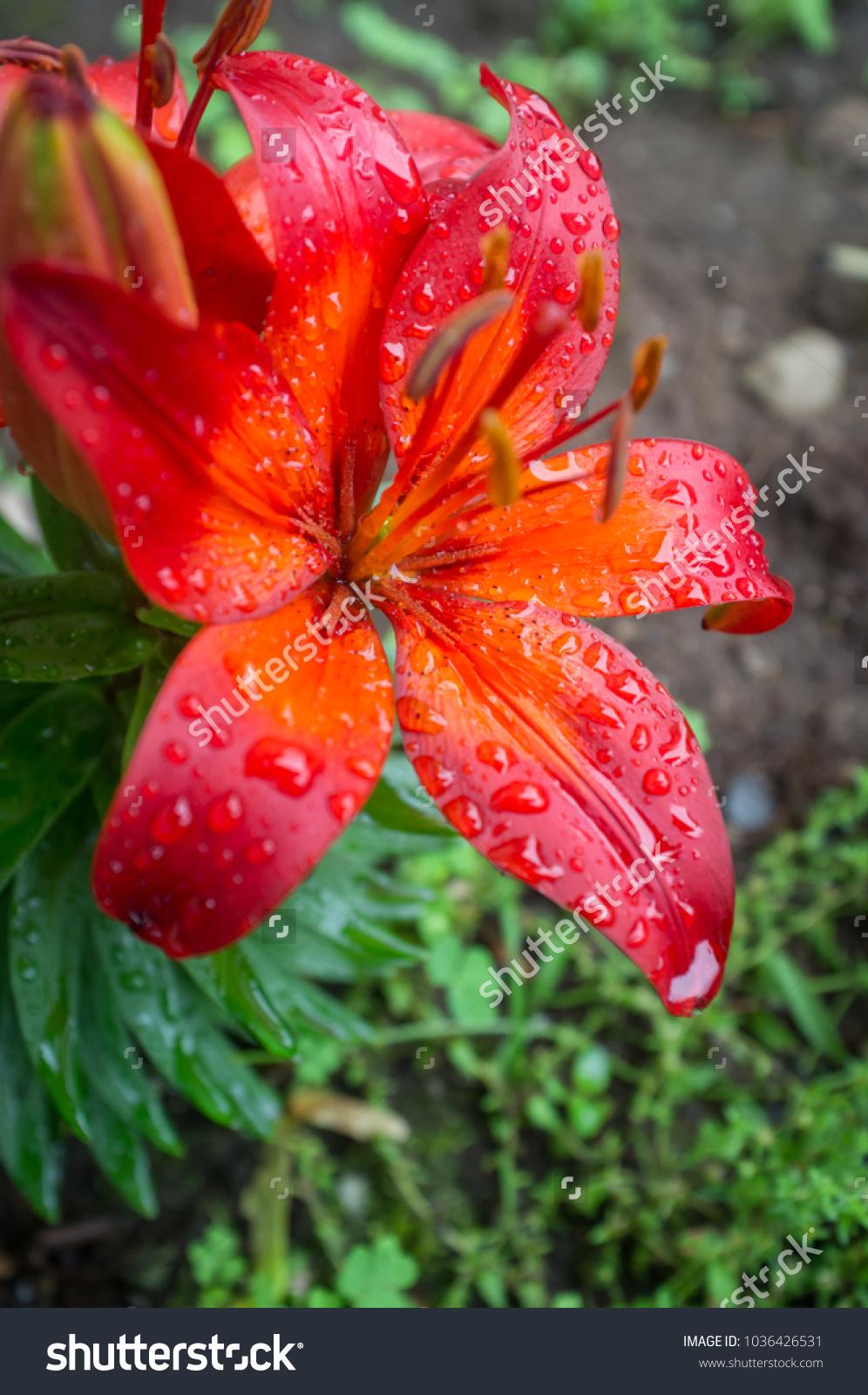 Garden red lily flowers wet summer stock photo edit now 1036426531 garden red lily flowers wet from summer rain izmirmasajfo