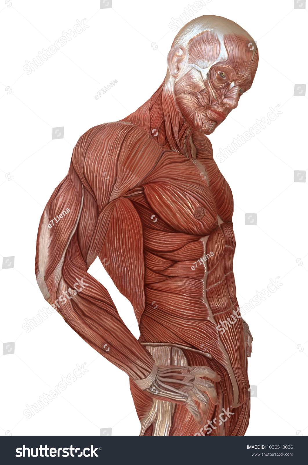 Male Body Without Skin Anatomy Muscles Stock Illustration 1036513036
