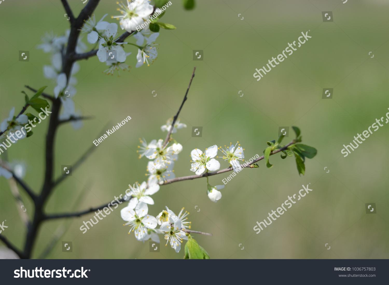 Flowering Branch Blackthorn Sloe White Blossoms Stock Photo Edit