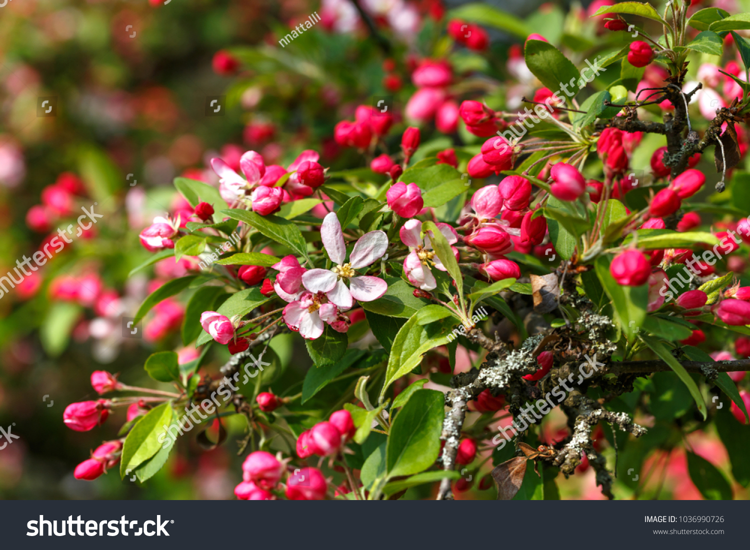Pink flowers bud wild apple tree stock photo edit now 1036990726 pink flowers and bud of wild apple tree spring background with apple tree blossom mightylinksfo
