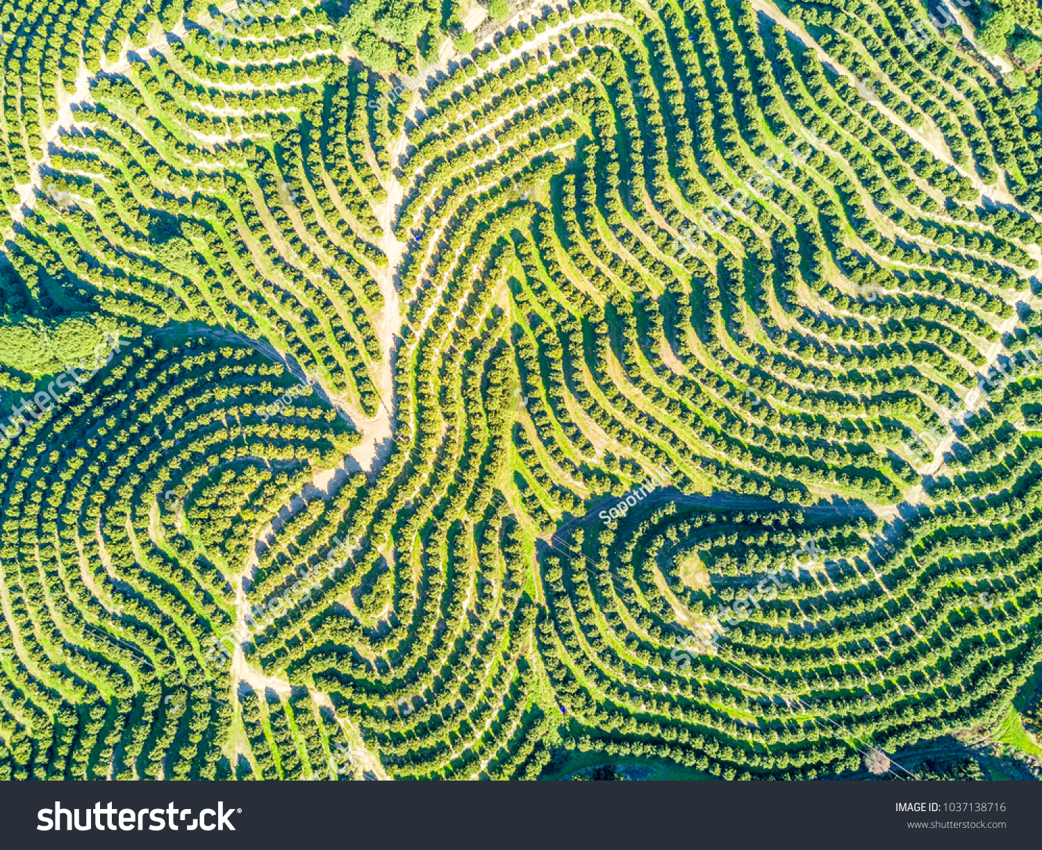 Aerial view of orange tree groves on hills creating organic pattern #1037138716