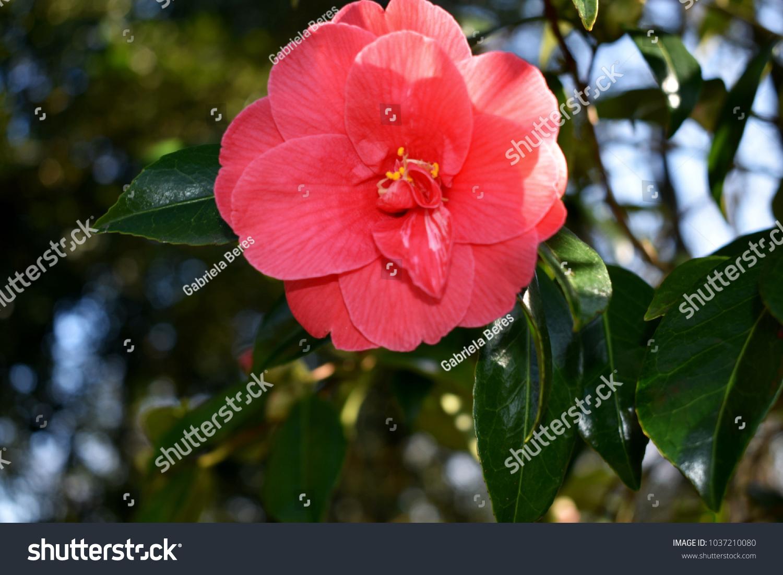Beautiful single flower of camellia japonica ez canvas izmirmasajfo