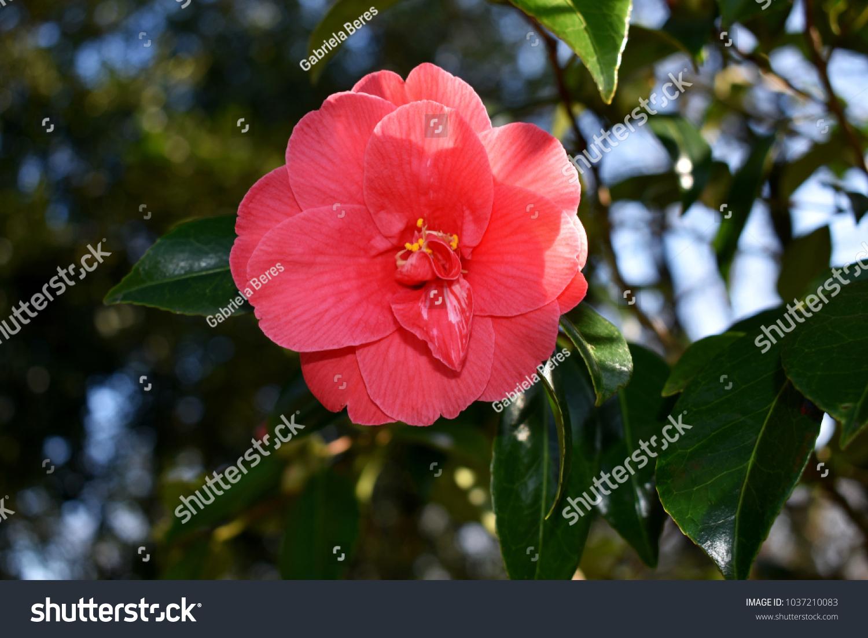 Beautiful Single Flower Of Camellia Japonica Ez Canvas
