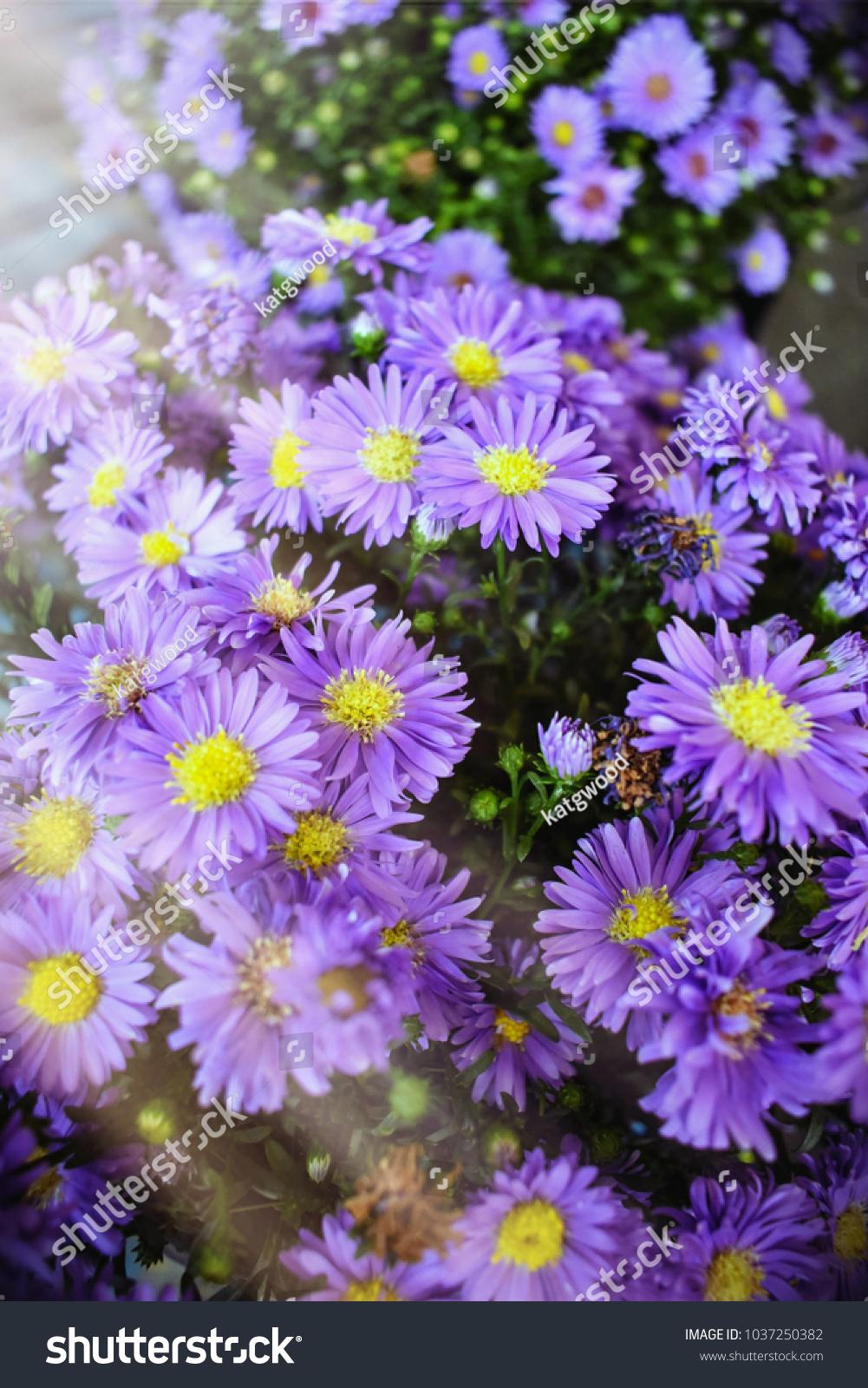 Blue Aster Alpine Flower Background With Sunlight Ez Canvas