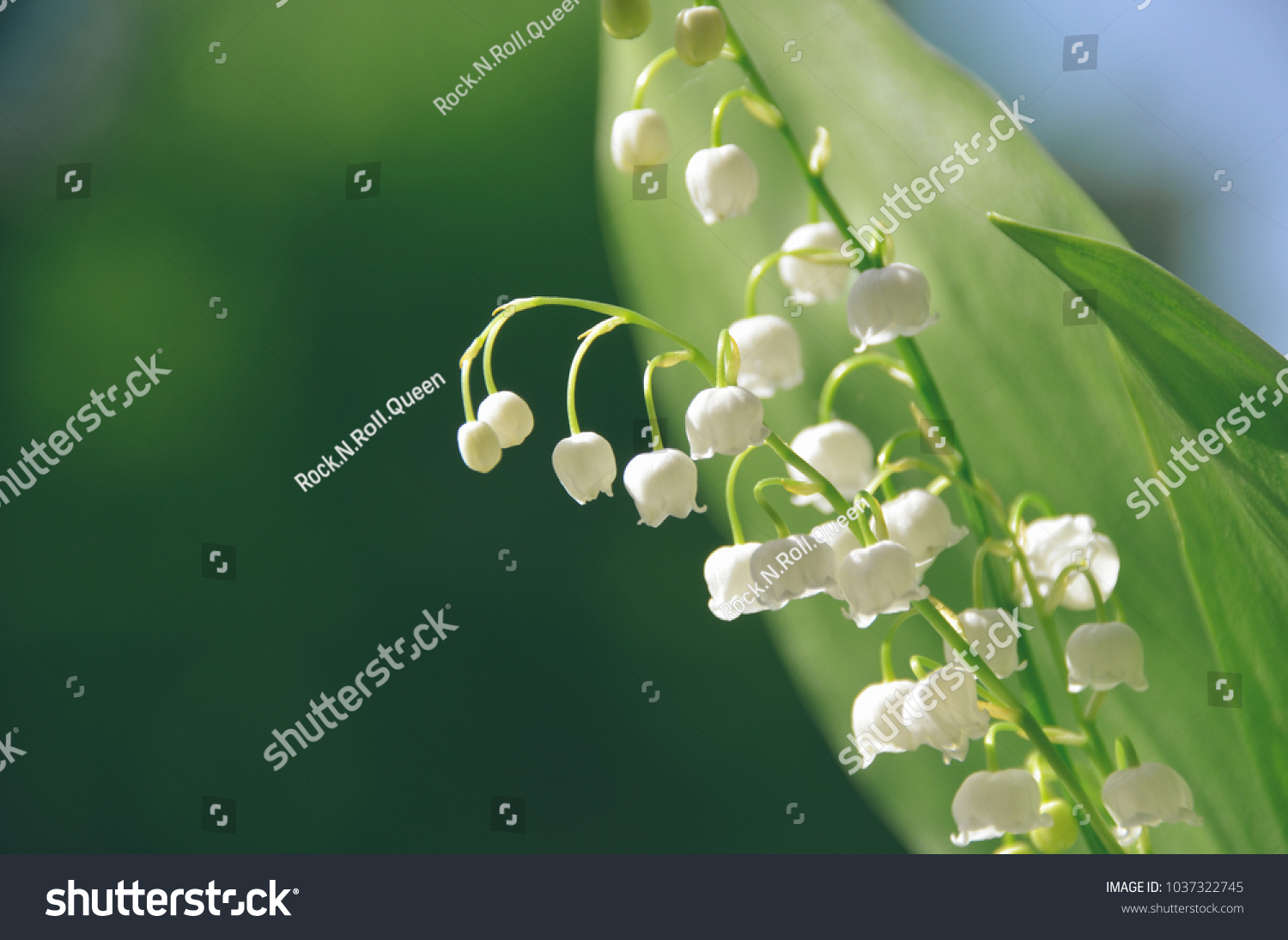 Beautiful white lilies of the valley with dew early in the morning id 1037322745 izmirmasajfo