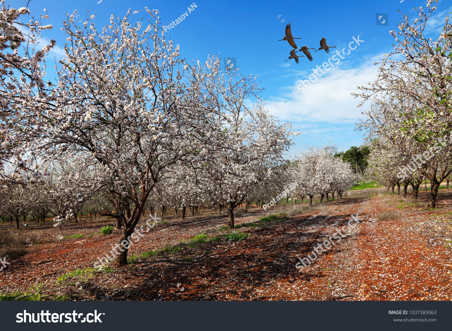 Blooming Spring Orchard Flowering Branches Almond Stock Photo Edit