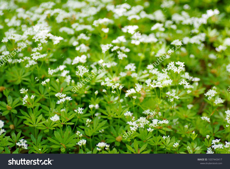 Macro Closeup White Tiny Flowers Wild Stock Photo Royalty Free