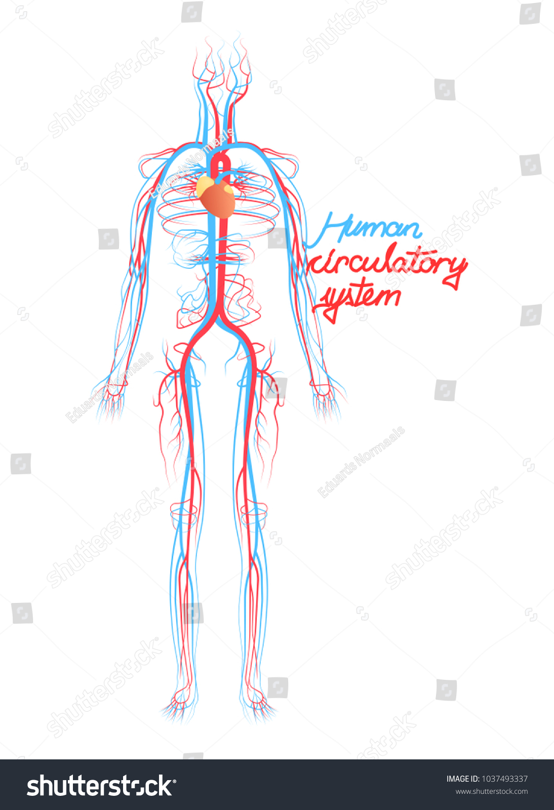 Conceptual Human Blood Circulatory System Blood Stock Vector ...