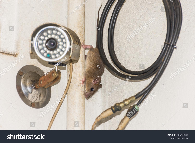 house brown rat on fiberoptic cable stock photo (royalty free fiber optic connectors house brown rat on fiber optic cable behind security camera (cctv)