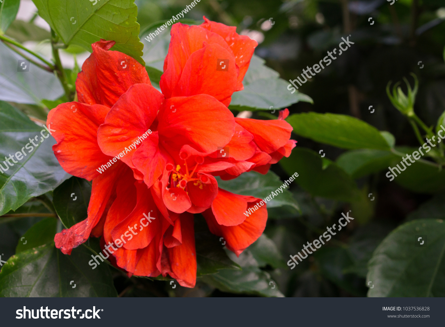 This beautiful red flower can be called chinese rose gudhal chaba id 1037536828 izmirmasajfo