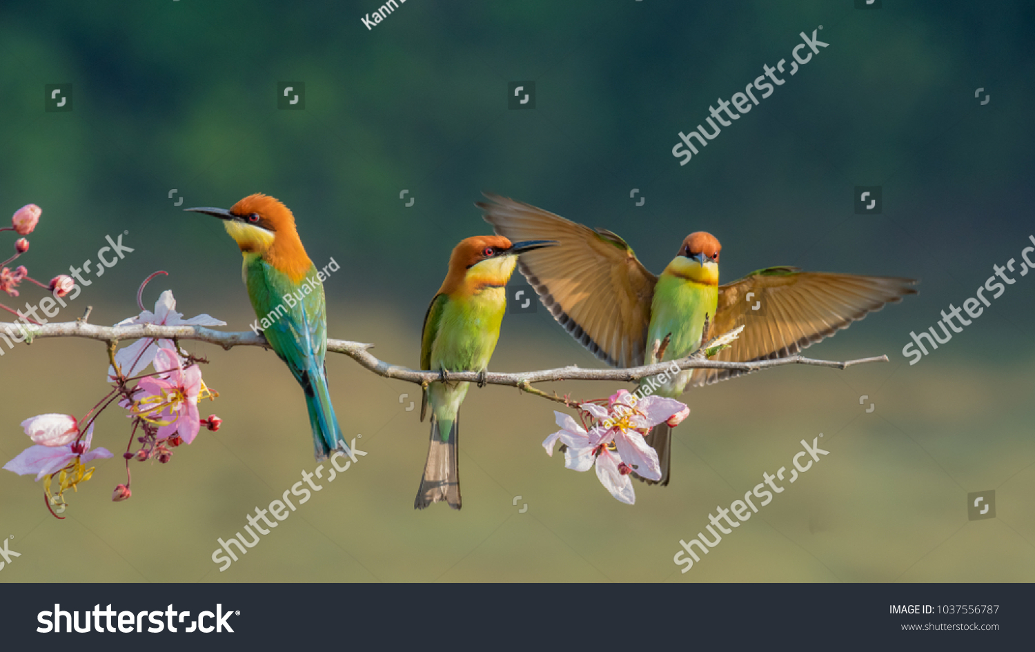 three Chestnut-headed bee-eater on the sticky wood with shallow blurry background one of them spread the wings in high definition, Bee eater, bird , aves with pink flower #1037556787