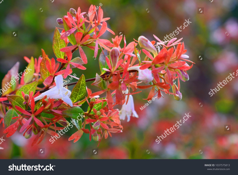 Pink Abelia X Grandiflora Francis Mason Stock Photo Edit Now