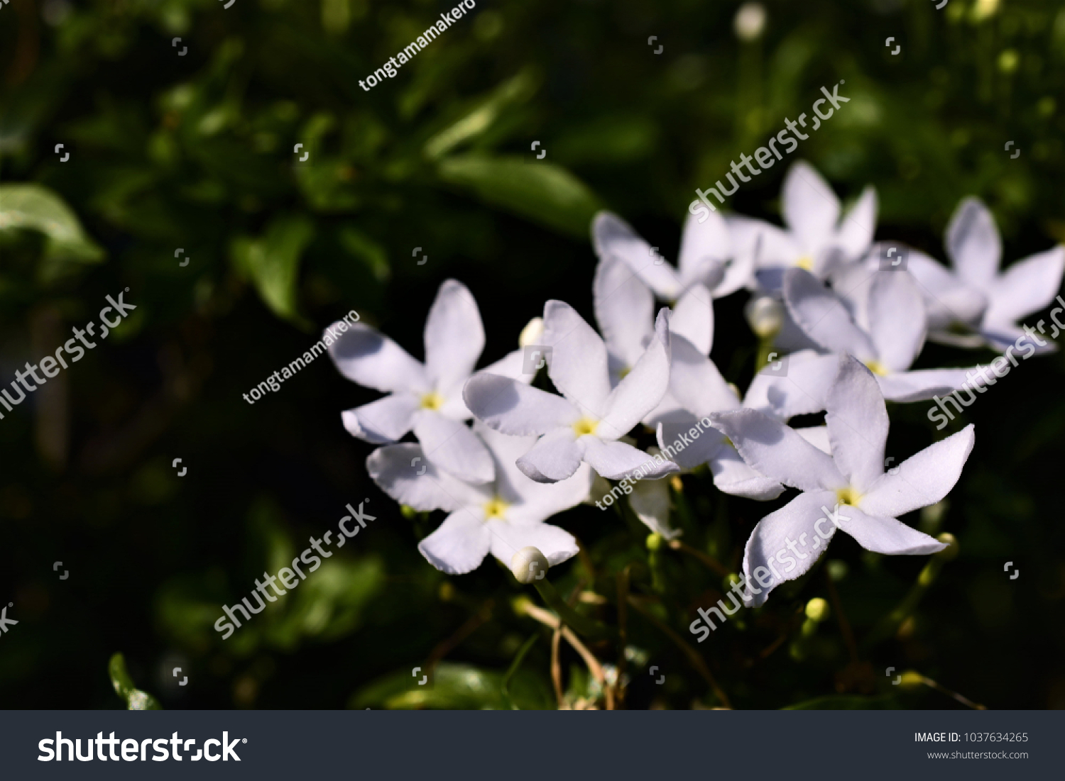 Crape Jasmine Tagar Flower Indian White Stock Photo Edit Now