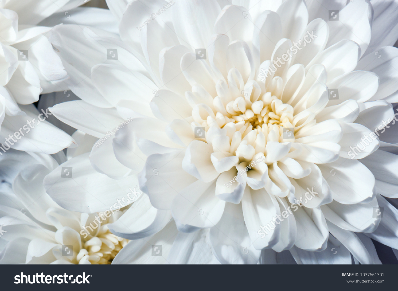 White Chrysanthemum Flower Texture Stock Photo Edit Now 1037661301