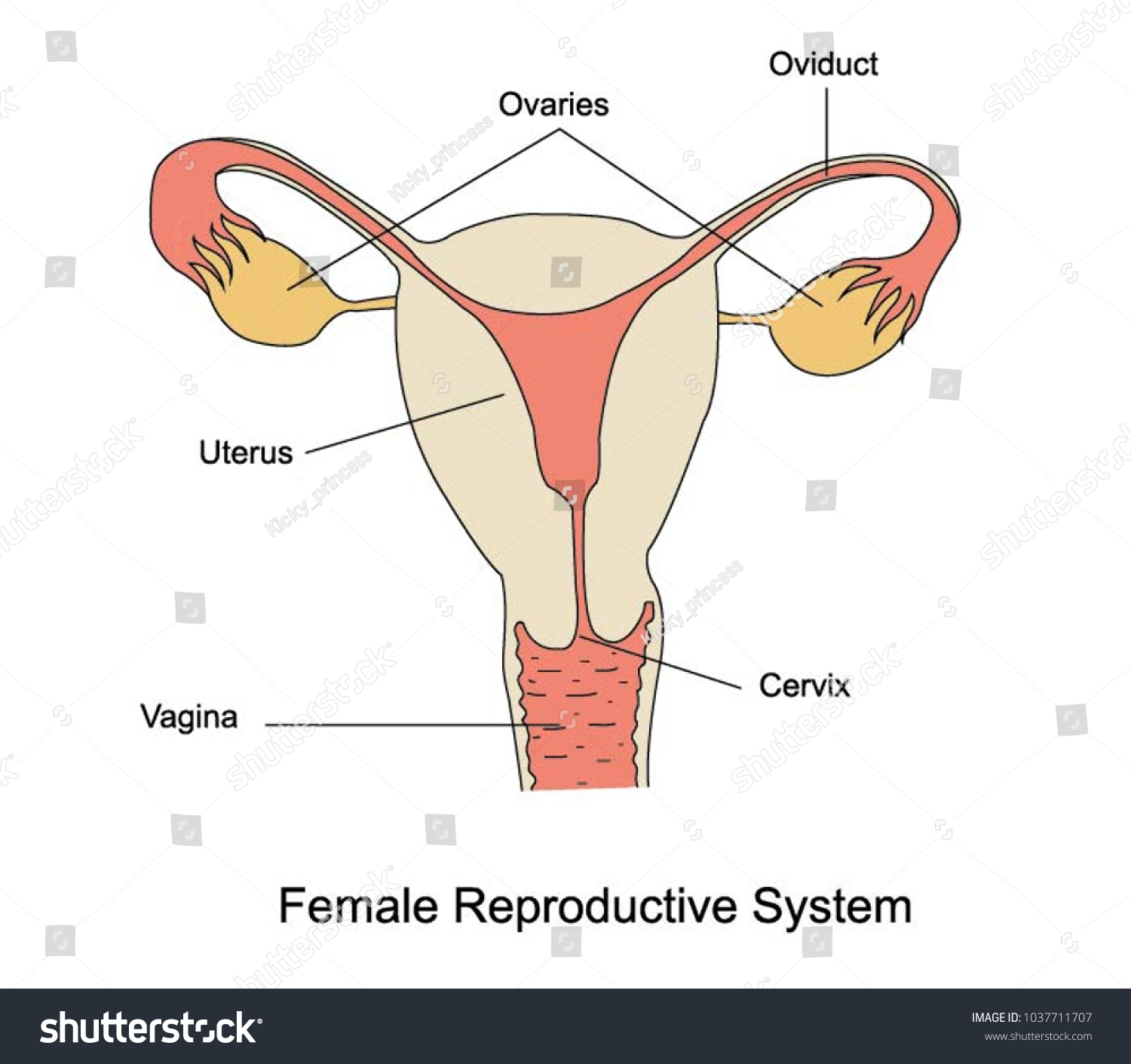 Illustration Female Reproductive System See Large Stock Vector