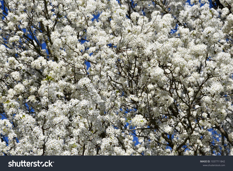 White Flowers On Trees Blue Sky Ez Canvas