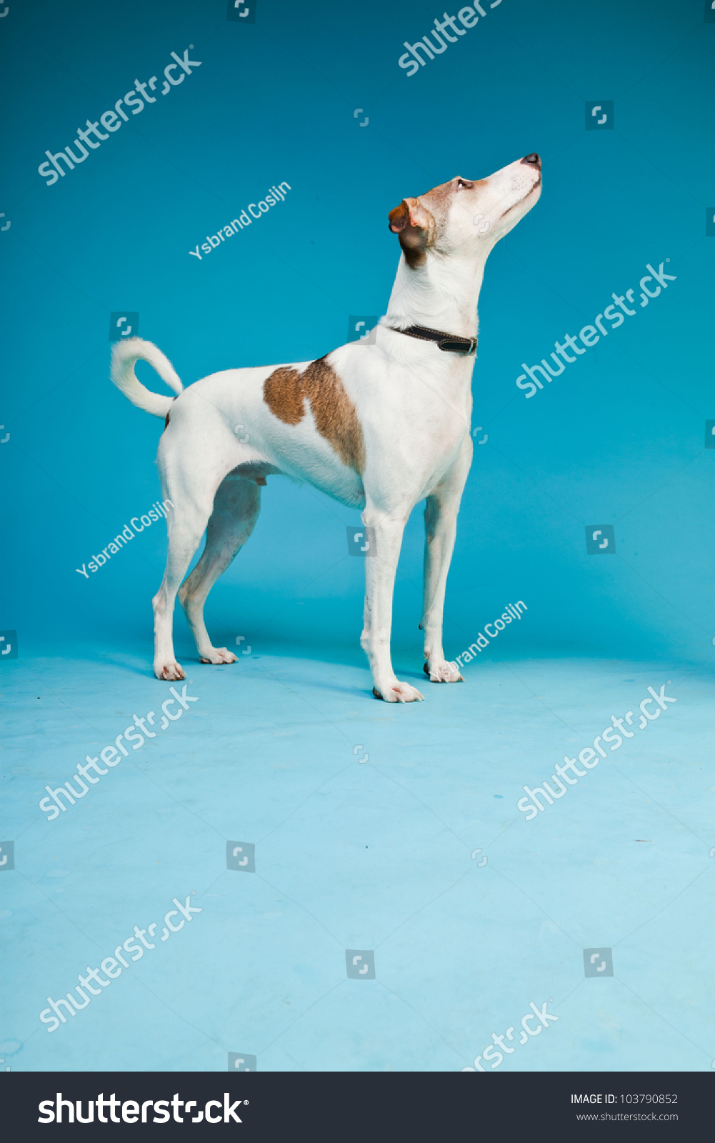Mixed Breed Dog Short Hair Brown Stock Photo (Edit Now) 103790852 ...