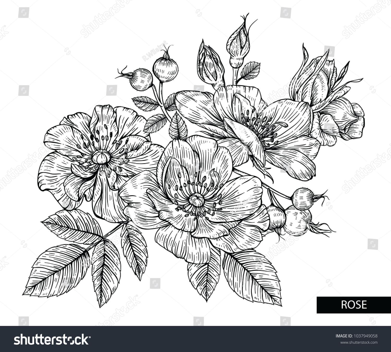 Flower Drawings Rose Flowers Berries Vector Stock Vector Royalty