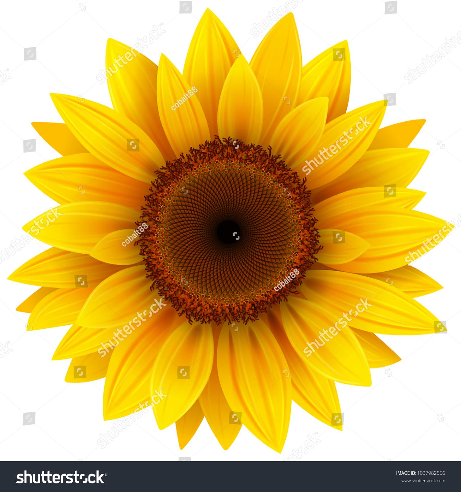 Sunflower flower isolated, vector illustration.