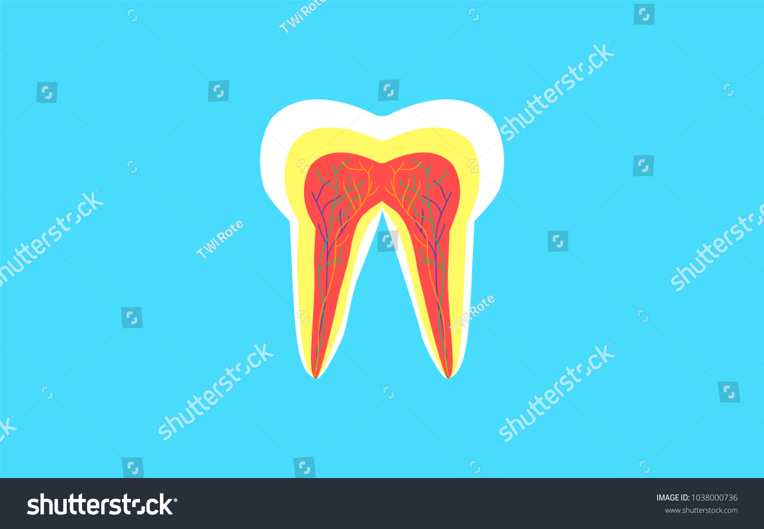 Inside Crosssection Tooth Anatomy Structure Dental Stock Vector