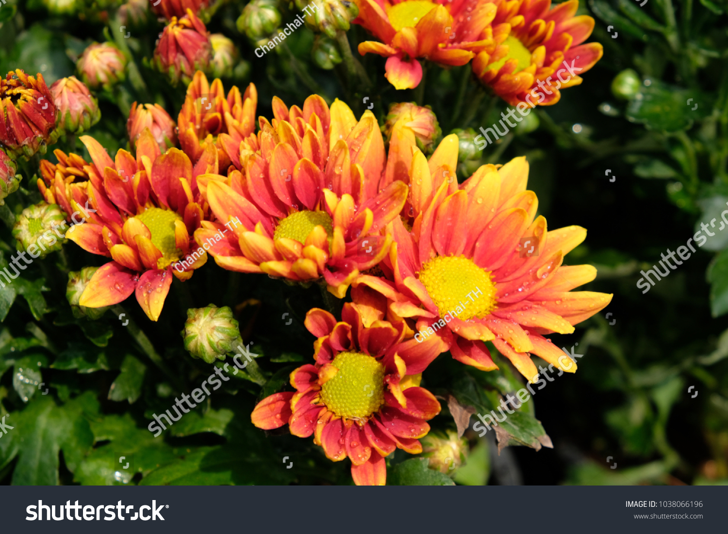 A Flowers Of Orange Toned Colorfast Double Blooms That Age Well And