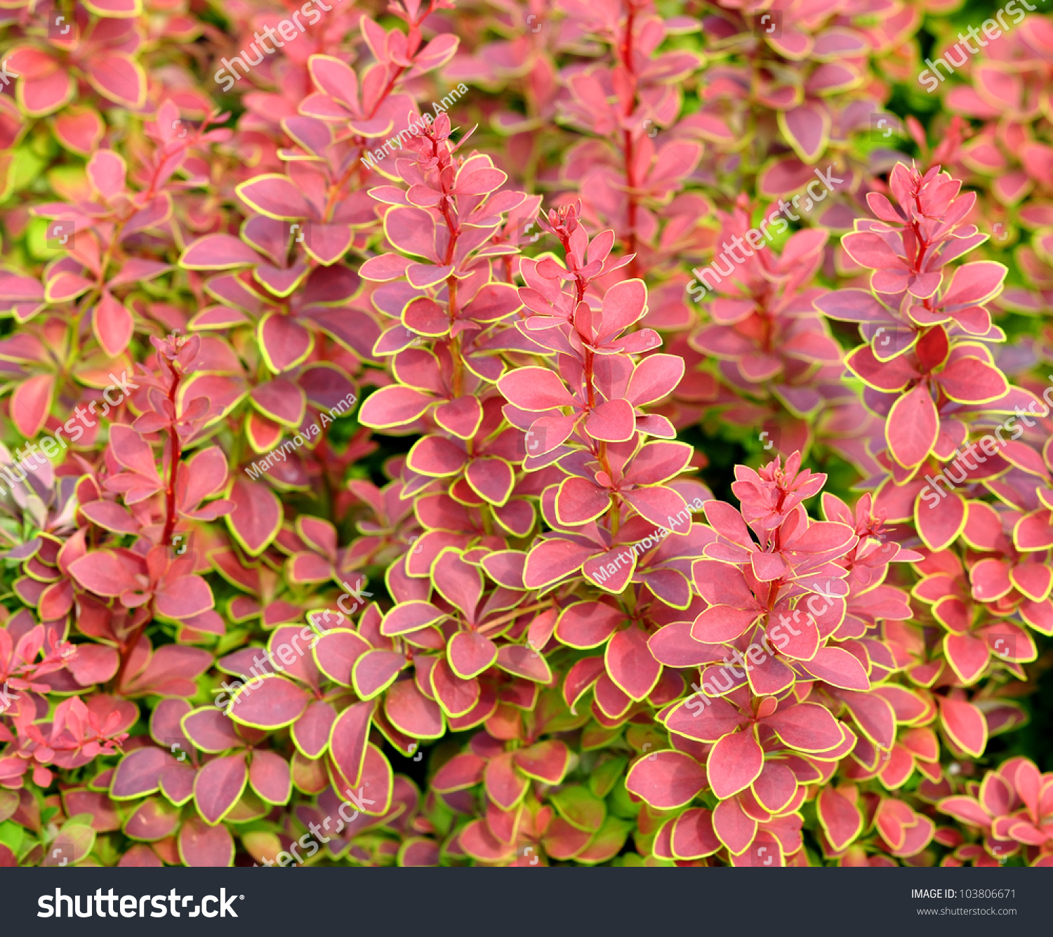 Striking Shrub Red Leaves Bordered Stock Photo Edit Now 103806671
