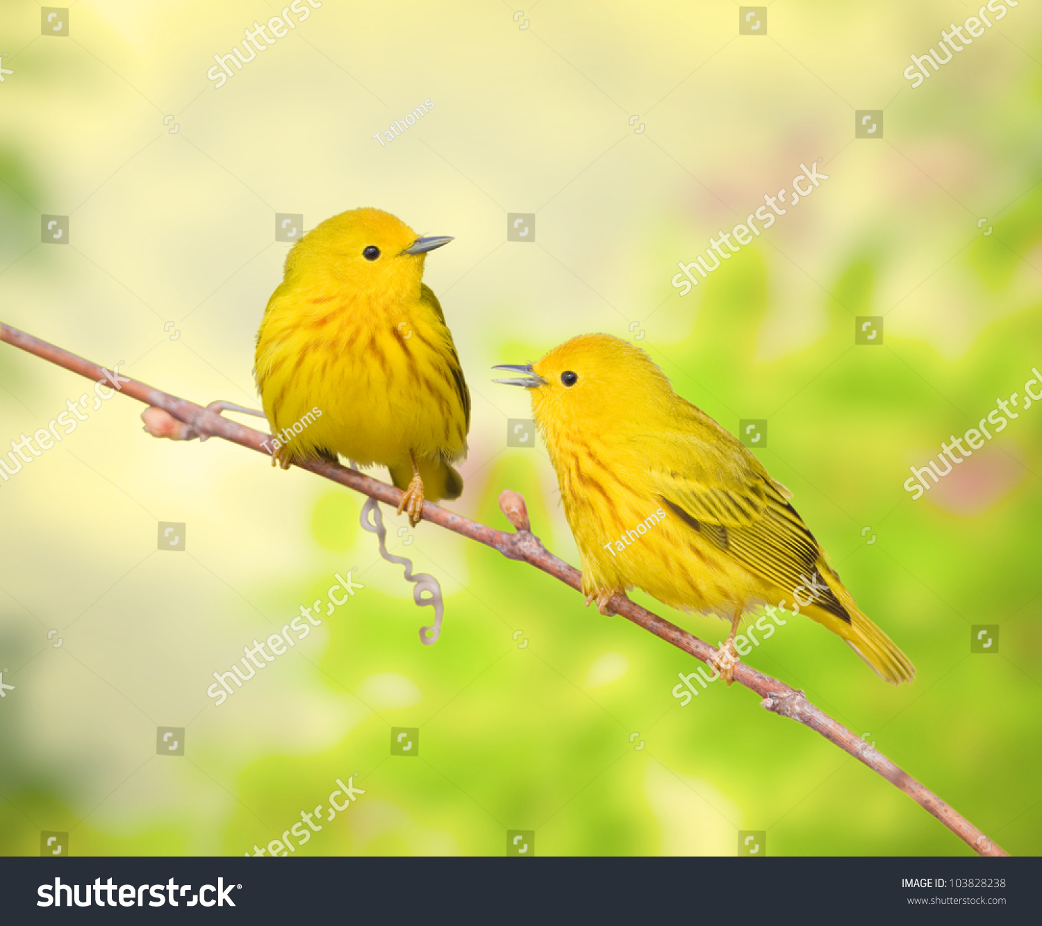 stock-photo-yellow-warblers-perching-on-