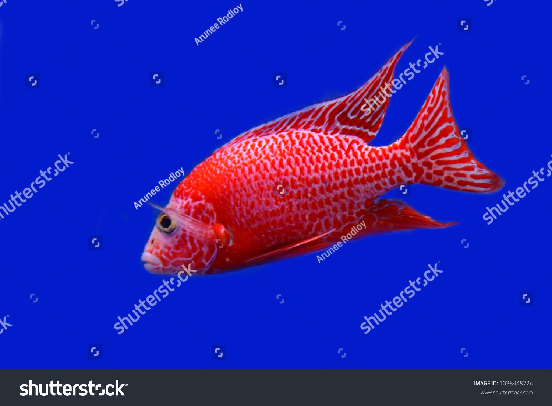 Colorful Ornamental Fish Lake Malawi Cichlids Stock Photo (Royalty ...