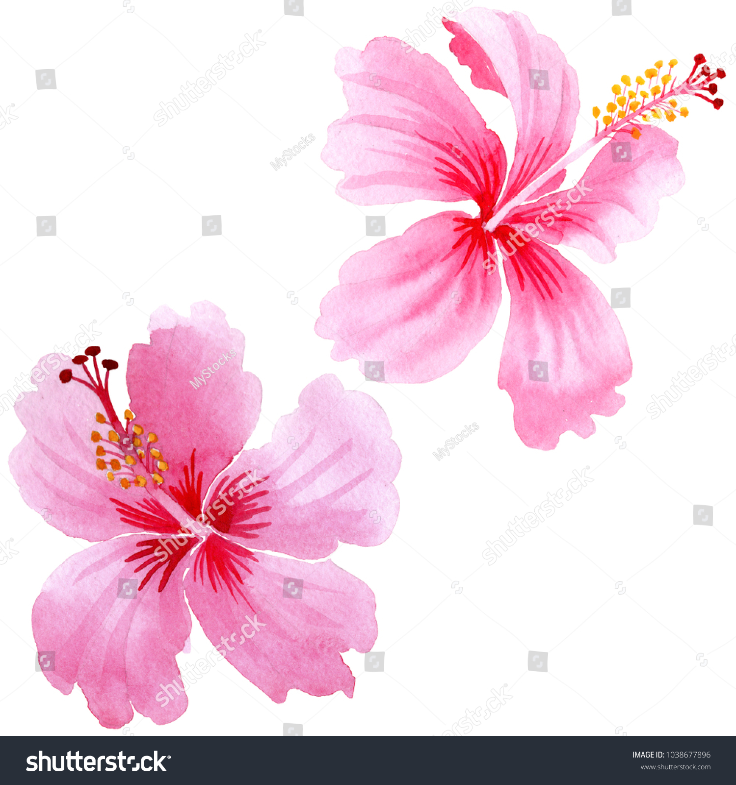 A Pink Hibiscus Flower Isolated On White Background Ez Canvas