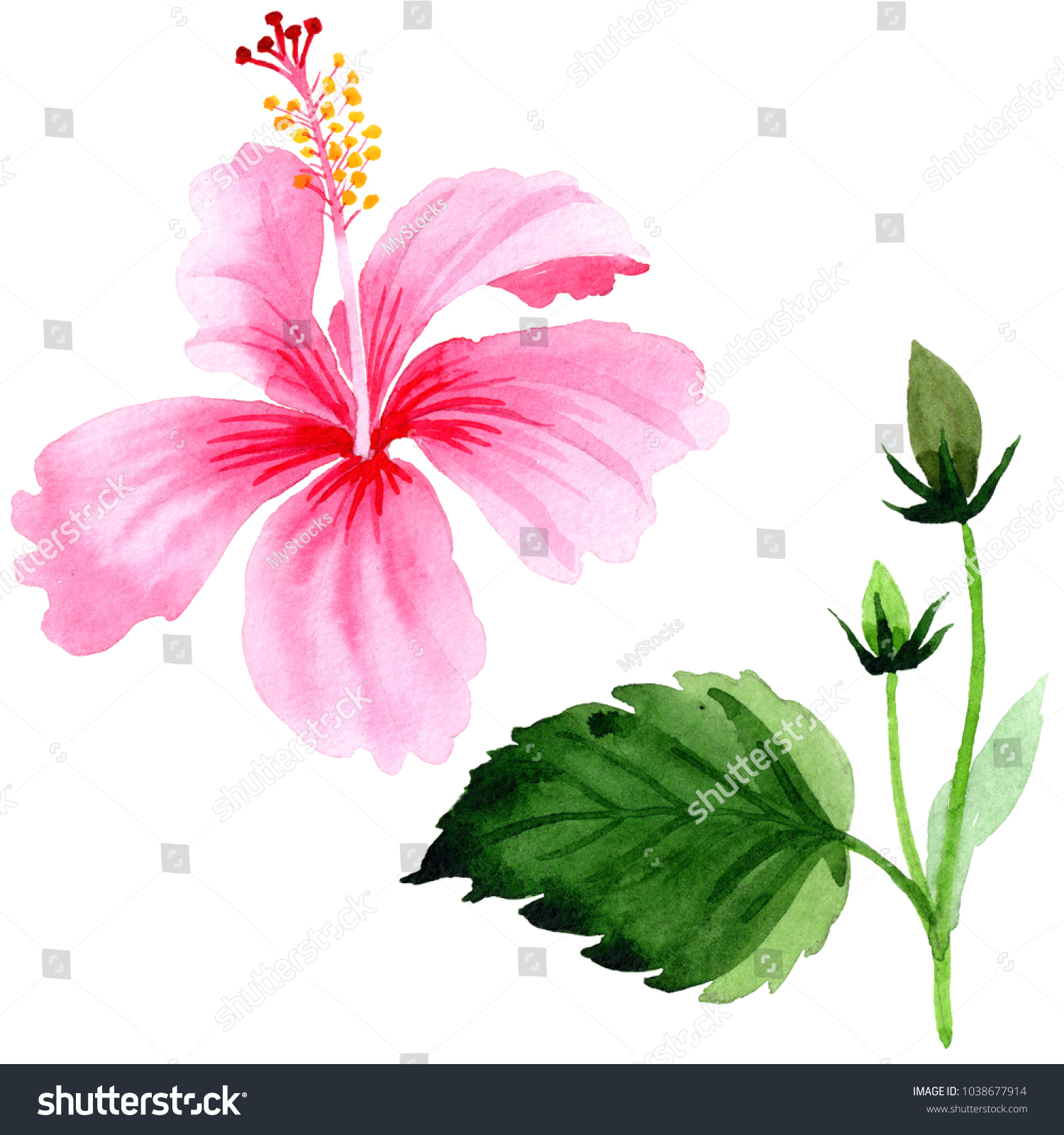 Royalty free stock illustration of wildflower hibiscus pink flower wildflower hibiscus pink flower in a watercolor style isolated full name of the plant izmirmasajfo