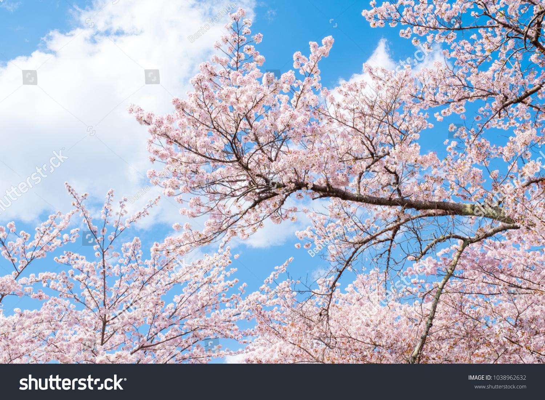 Sakura Cherry Blossoms Tree Branches Against Stock Photo Royalty