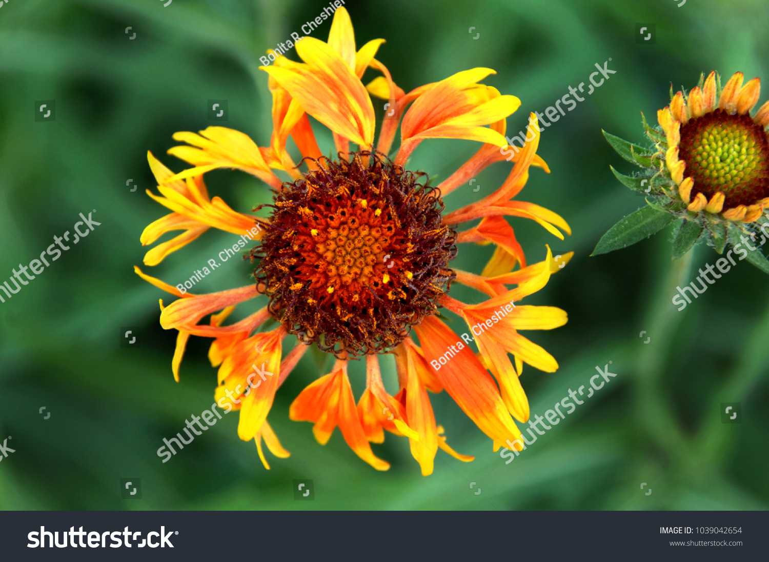 Closeup Shows Yellow Orange Flower Brown Stock Photo 100 Legal