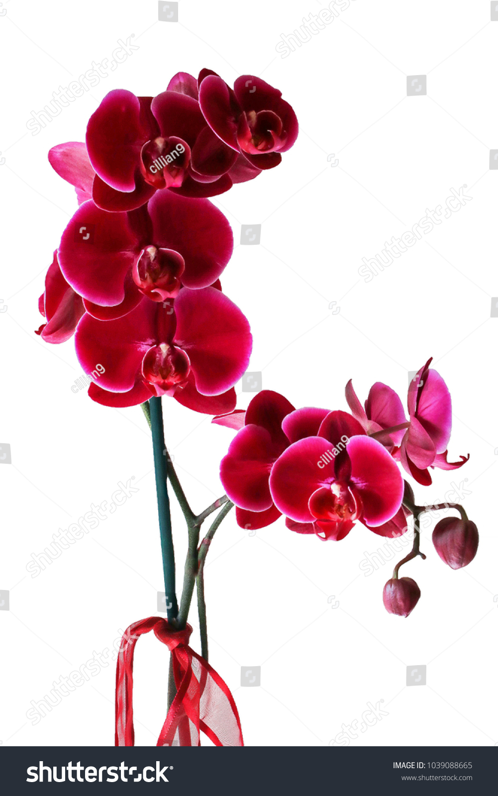 Pink Fuchsia Orchid Flower White Background Stock Photo Edit Now