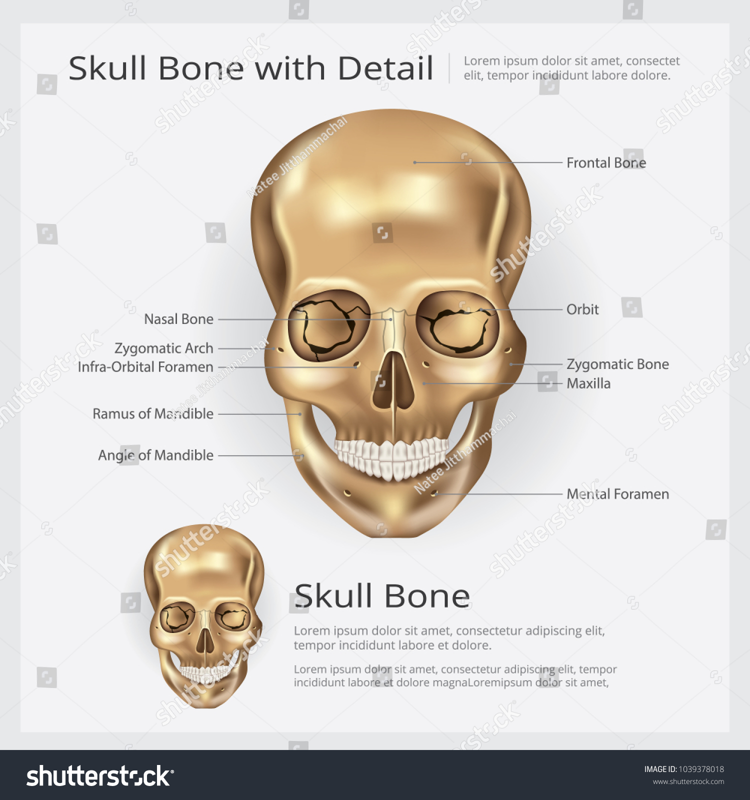 Human Bone Skull Anatomy Vector Illustration Stock Vector (Royalty ...