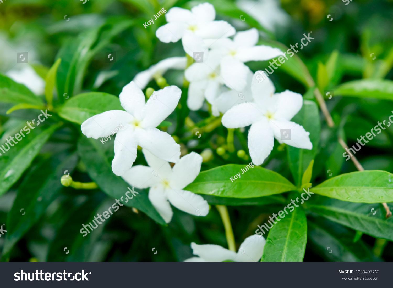 White Flower White Sampaguita Jasmine Orang Jessamine In Garden