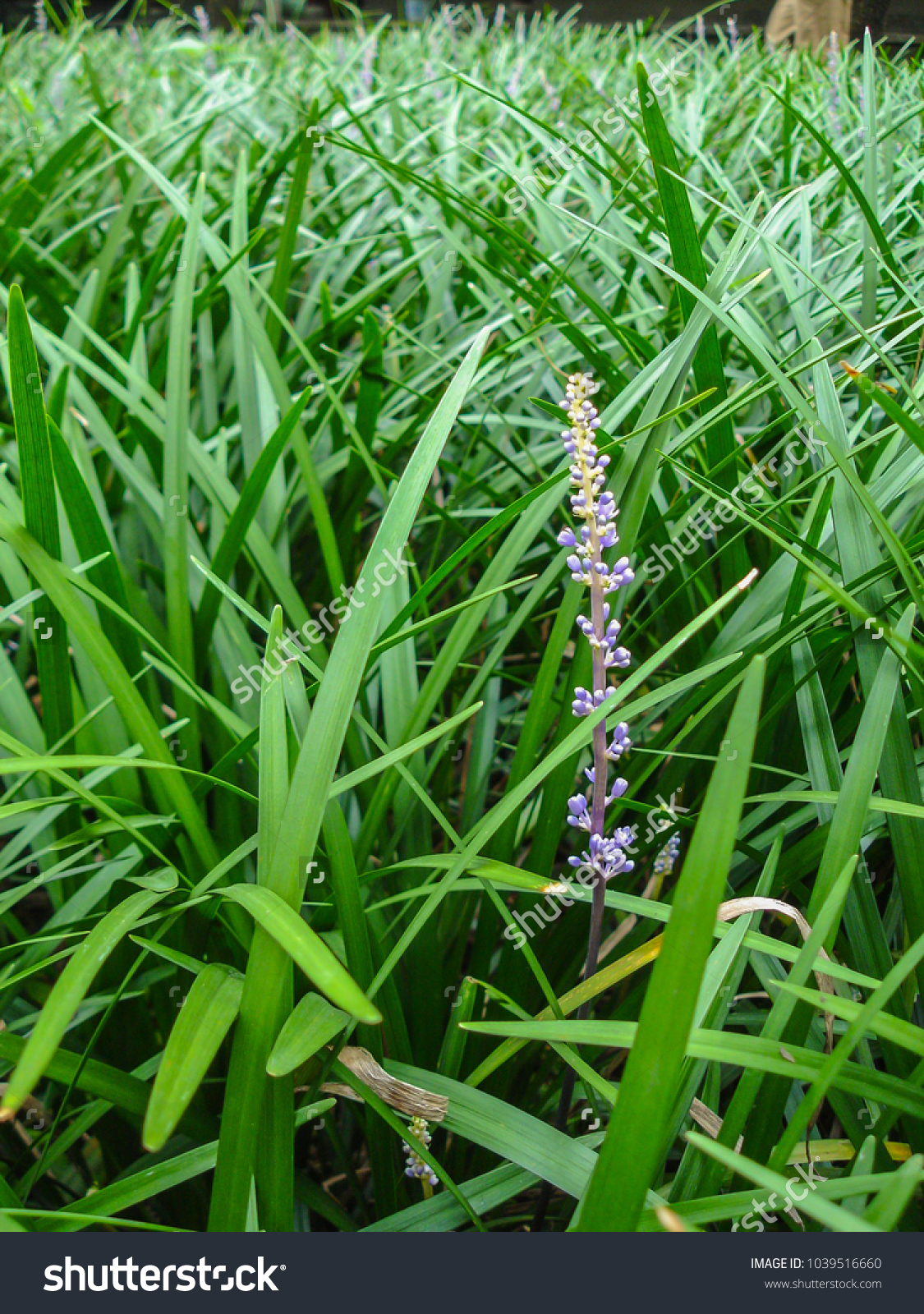Purple Flower Liriope Muscari Lily Turf Stock Photo Edit Now